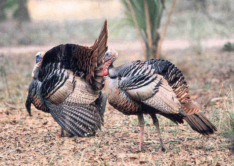 The Osceola turkey is Florida's own subspecies of wild turkey.
