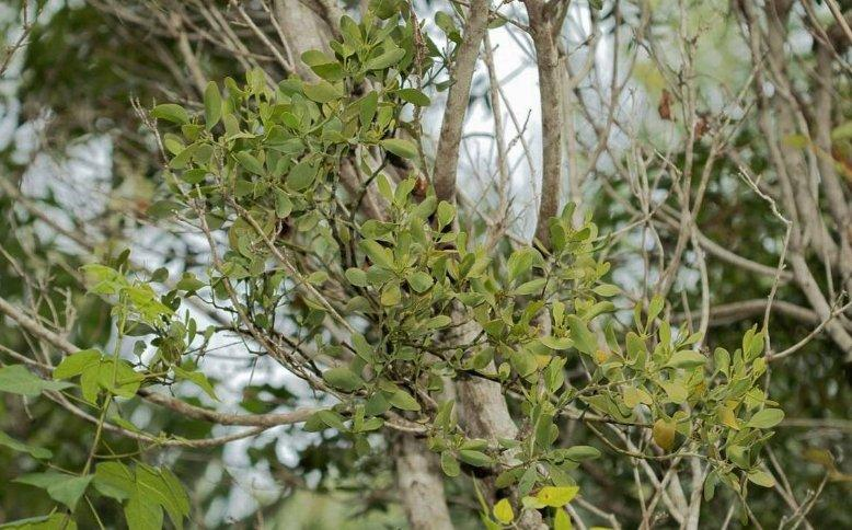 Close up of the Mahogany Mistletoe, the mistletoe species native to Florida.