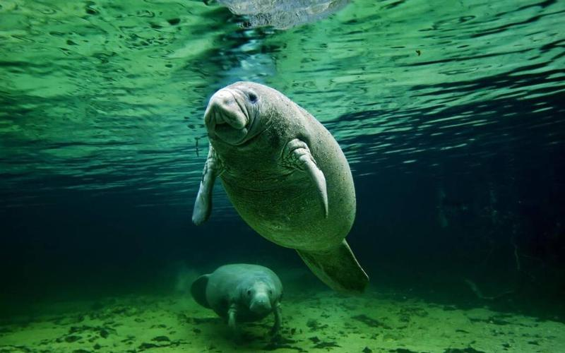 A female manatee and her calf lounge in the clear and warm freshwater spring that flows into Florida's Crystal River.