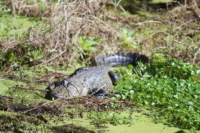 An alligator rests at at Arthur R. Marshall Loxahatchee National Wildlife Refuge on Jan. 30, 2018.