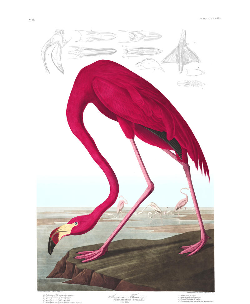 John James Audubon saw flamingos in the Upper Keys in 1832.