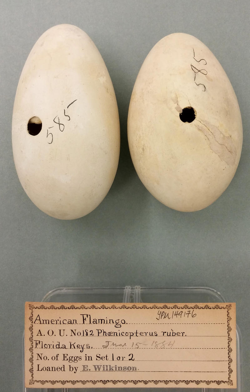 These flamingo egg specimens in the Yale museum collection are labeled with 'Florida Keys' and 1884.