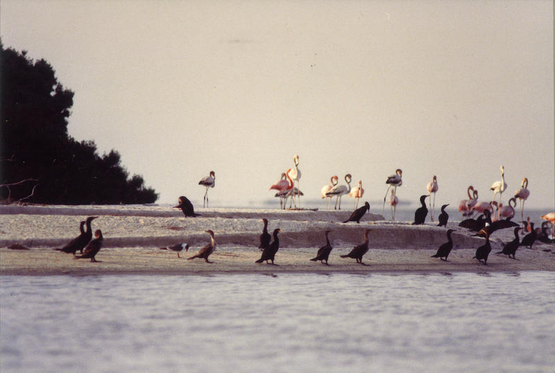 A group of flamingos at Sandy Key in western Florida Bay in 1992