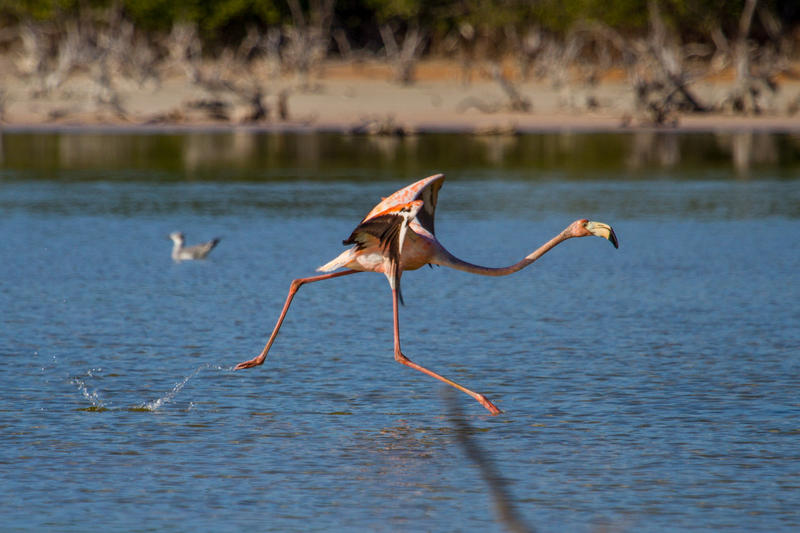 A flamingo takes off at a pond on Grassy Key in June, 2016.