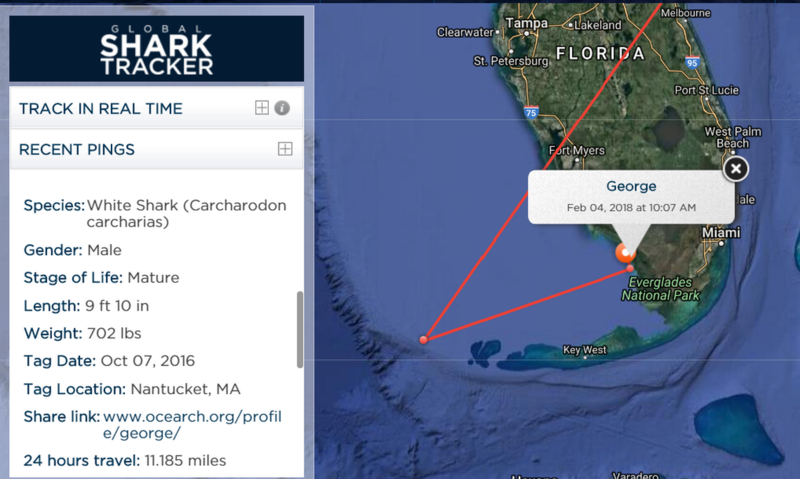 The nonprofit Ocearch first tagged the great white shark, George, off Nantucket in October 2016 when he weighed just over 700 pounds and was nearly 10 feet long