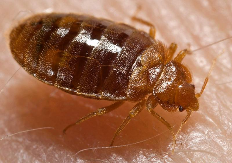 A bed bug, also known as Cimex lectularius