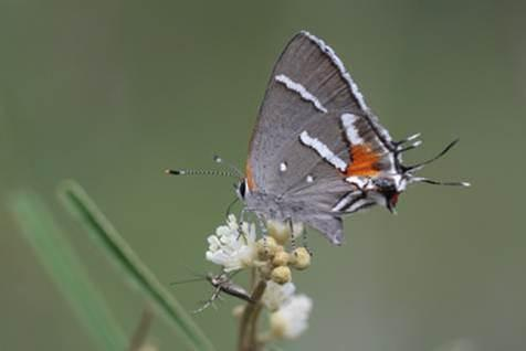 The Bartram's scrub-hairstreak butterfly lives only in pine rocklands habitat in Miami-Dade and Monroe counties.