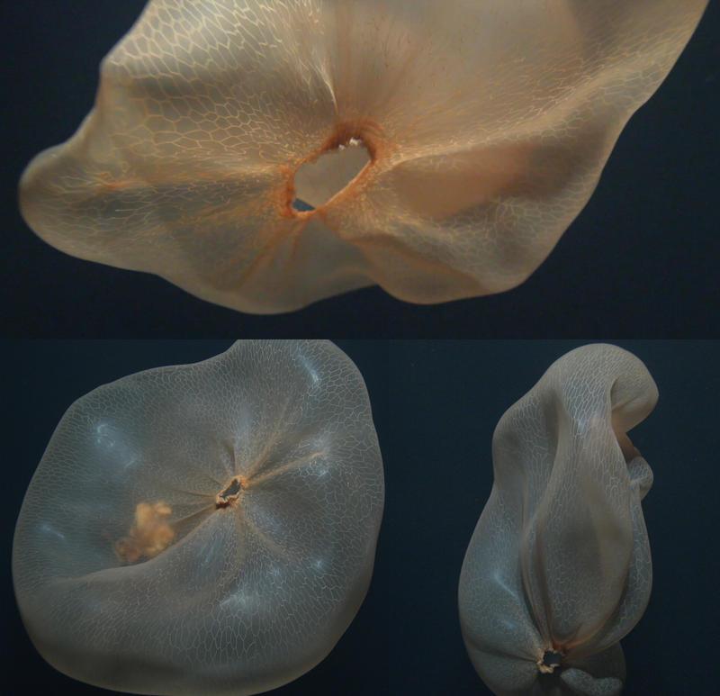Deepstaria enigmatica jellyfish at 3,195 feet.
