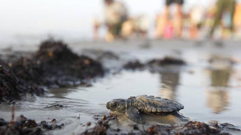 A new study of Florida beaches has found high amounts of microplastics, which could increase sand temperature and produce more female hatchlings. This Kemps ridley sea turtle makes its way to the Gulf of Mexico from the Texas coast.