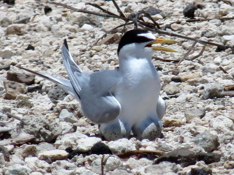 Least terns liked nesting on the light-colored gravel paths next to the runways and taxiways at Naval Air Station Key West.
