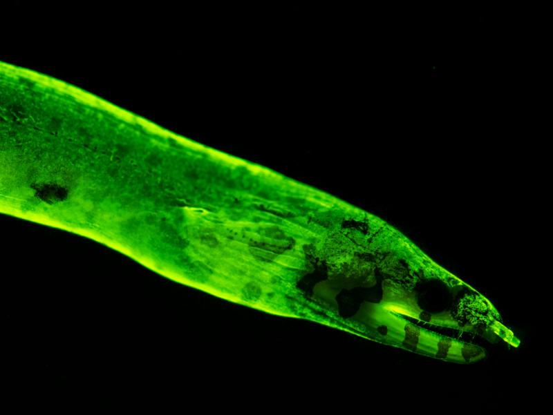 Close-up of fluorescent eel.
