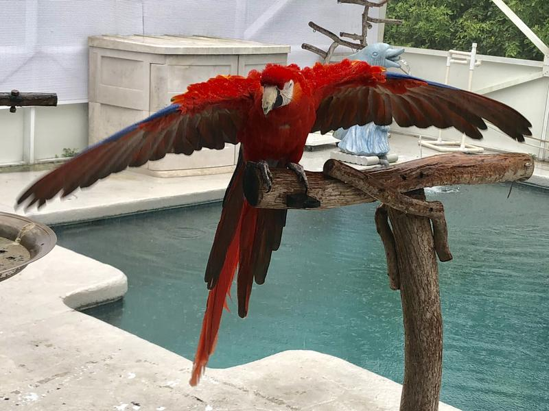 Strawberry is a 41-year-old Scarlet Macaw rescued by the president of the Bird Lovers Club in Broward County, Florida.