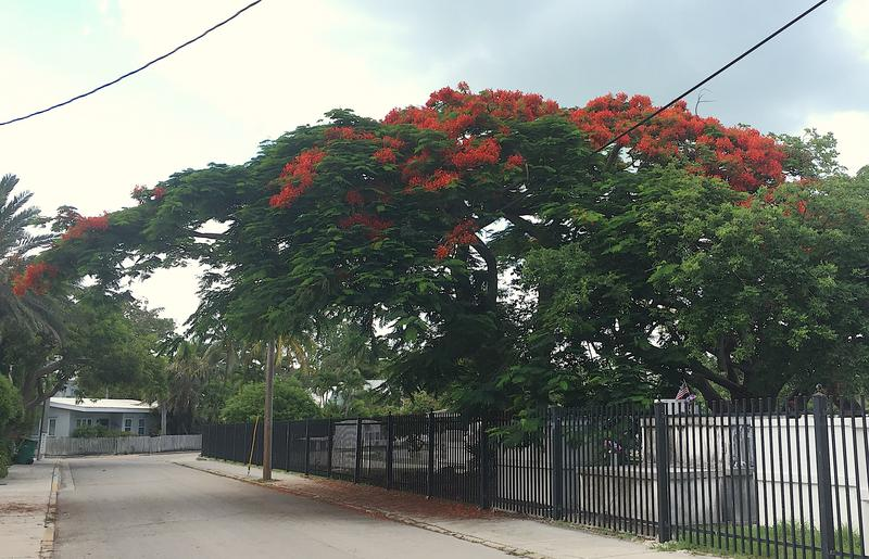 The royal poinciana is not native to Florida, or even this hemisphere.  But it is now the official tree of Key West.