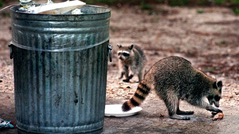 Raccoons eat scraps of food left in the garbage at the Oleta River Shelter at Greynolds Park in North Miami.