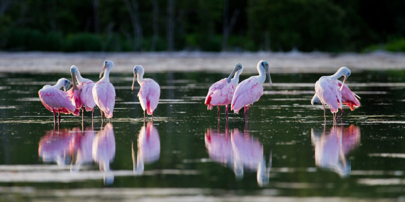 Roseate spoonbills in Florida Bay. The birds sweep their distinctive bills in an arc through the water to dredge up fish and insects.