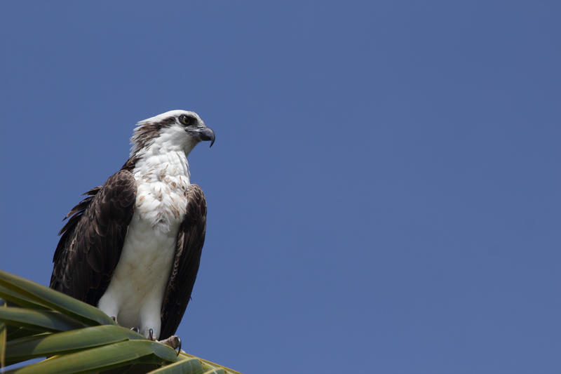 Osprey are also called 'fish hawks' and are considered a state species of special concern in Monroe County only.