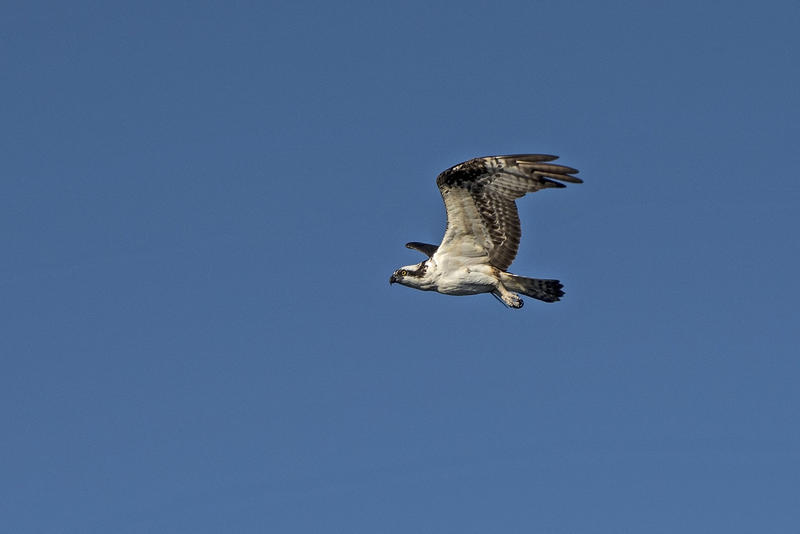 In Monroe County, ospreys are listed as a 'species of special concern.'