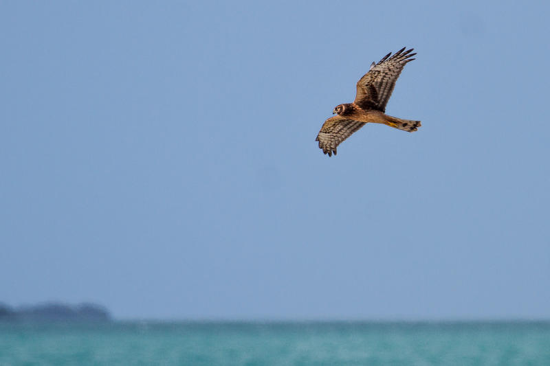 The Keys are known as a site to see Peregrine Falcons during hawk migration, but many other species of raptors can also be seen, like the Northern Harrier.