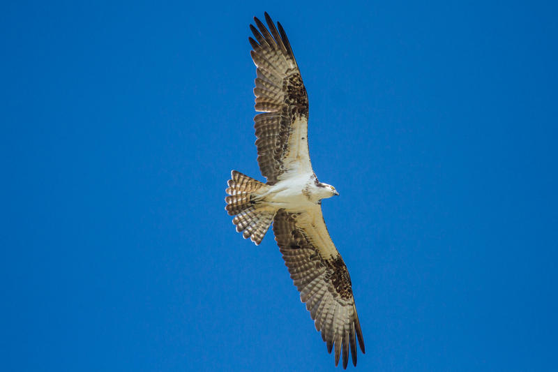 An osprey soars over Fort Zachary Taylor state park in Key West, site of Saturday's Hawk Mania event.