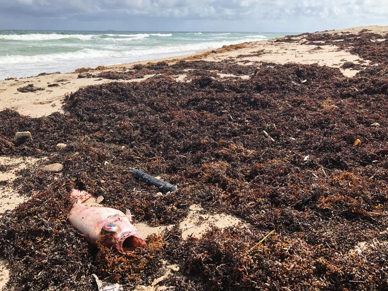 A dead fish lays in the middle of seaweed at Ocean Ridge Hammock Park in Palm Beach County. The beach was one of three that closed Thursday, Oct. 4, 2018, because of red tide.