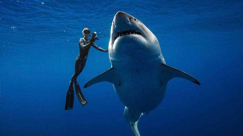 Ocean Ramsey, a shark researcher and advocate, swims with a great white shark off the shore of Oahu. Ramsey told AP earlier this month that images of her swimming next to a huge great white shark prove that these top predators should be protected.