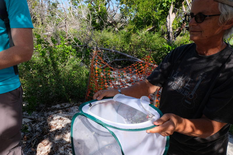 Volunteer Kim Gabel helps out with the release of Miami Blue butterflies on Long Key.