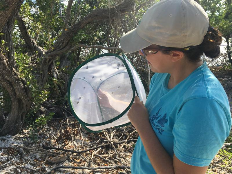 Biologist Sarah Steele Cabrera gets ready to release Miami Blue butterflies at Long Key State Park.