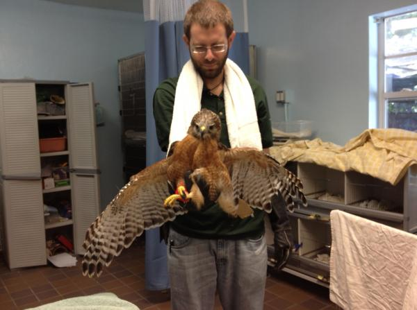 This red shoulder hawk is being treated for a leg injury at the South Florida Wildlife Center. Nick Songonzi is an animal care technician at the center.
