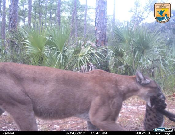 MOVING DAY: A hidden camera caught this extremely rare view of a momma Florida panther moving kittens to a new location in Florida's Big Cypress Basin.