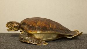 Green turtle specimen