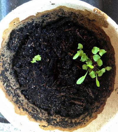 Lettuce sprouting (stock photo)