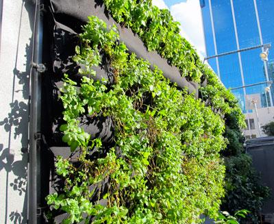 The vertical garden wall at Blackbird Ordinary was installed and planted by Urban GreenWorks.