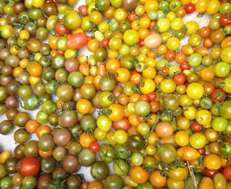 Cherry tomatoes from Bee Heaven Farm (stock photo)