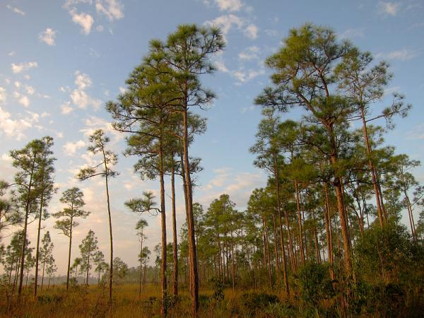 Sunrise on Long Pine Key Nature Trail.