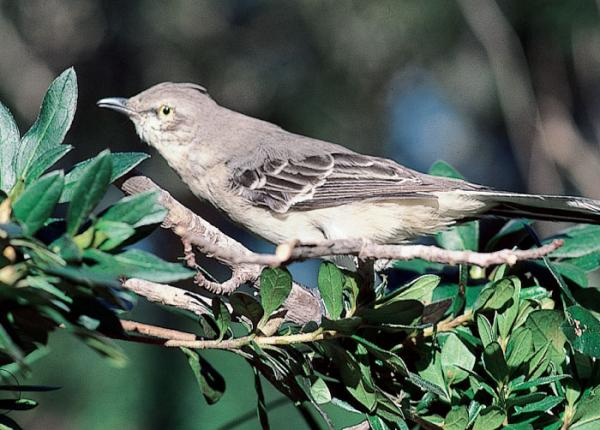 Northern mockingbirds are usually about ten inches in length, with a fifteen-inch wingspan, grayish upper portions, white undersides, and white patches on the tail and wings. The female has slightly less whiteness in its feathers than the male.