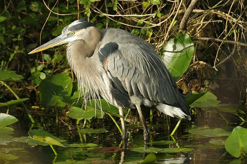 Great blue herons are wading birds that live in most areas of the U.S. This majestic bird is the largest kind of heron in North America.