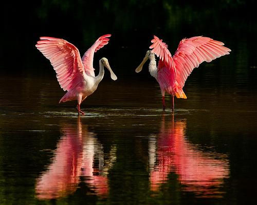 A lot of people mistake the roseate spoonbill for a flamingo because of their coloring. This wading bird uses its weird shaped bill to strain food out of the water.