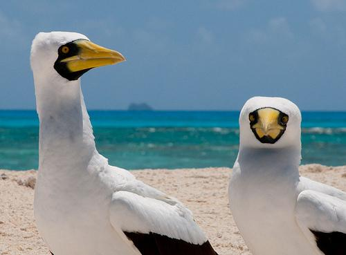 According to Cornell University's allaboutbirds.org, it's very rare to see a masked booby in North America. But, they do live on the Dry Tortugas.