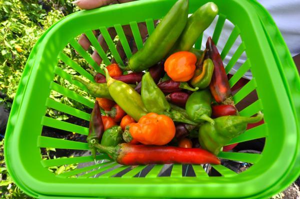 An assortment of peppers grown at the Dania Beach urban garden.