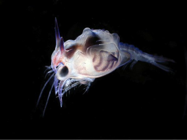 Deep-sea shrimp larvae.