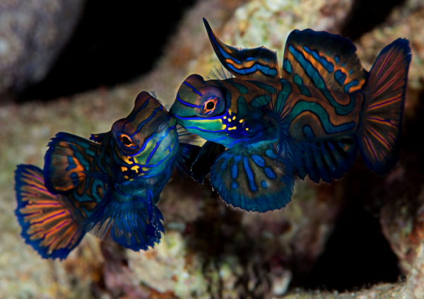 Mating Mandarin dragonets