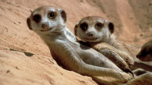 Meerkats relax by a warren