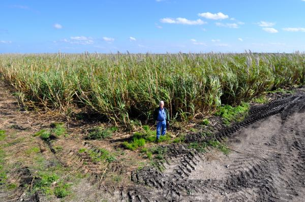 Rick Roth, President of Roth Farms, stands among his sugarcane in Palm Beach County.
