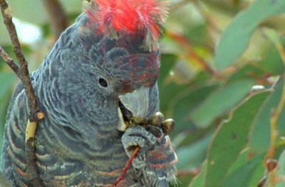 Wild Australasia: Gum Tree Country