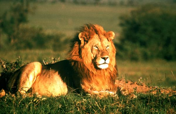Wild! Lions Behaving Badly