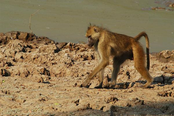 Wild! Valley of the Golden Baboon