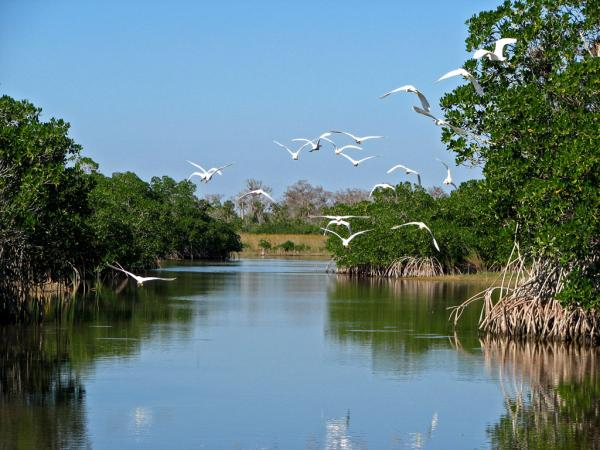 Great White Egrets flying off in the Everglades.