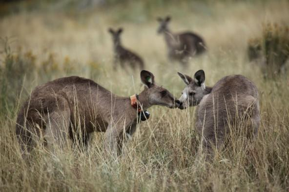Black Spot, leader of a mob of street-smart kangaroos, moving into Australia's capital city with a female kangaroo.