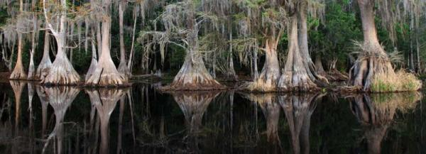 Brick Lake Cypress