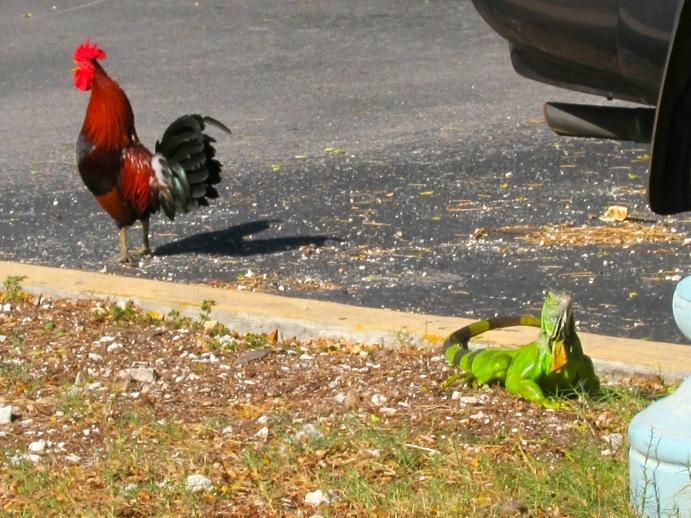 Key West Writers Weigh In On Key West Chickens | WLRN